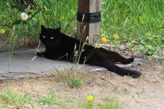 Černočerná kočka