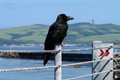 Pózující vrána