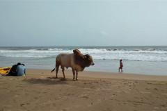 Kráva on the beach