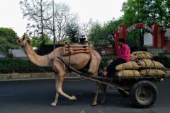 Velbloud v Jaipuru