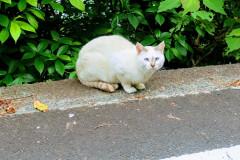 Kočka modrooká